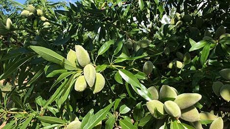 almendra verde variedad vayro en arbol