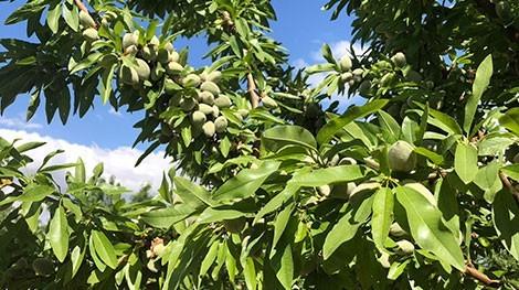 almendras verdes variedad marinada en arbol de floracion tardia