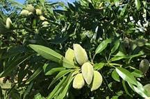 Especialistas en almendro de floracion tardia