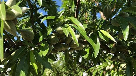 almendro penta con fruto en arbol