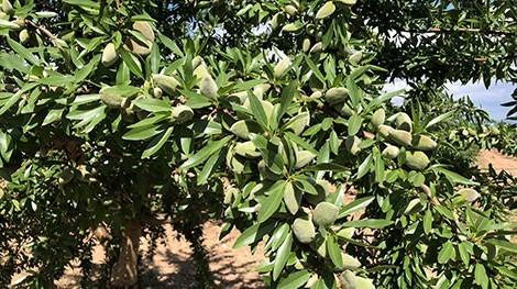almendro variedad lauranne en arbol de floracion tardia