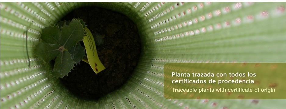 Planta tratada con todos los certificados de procedencia