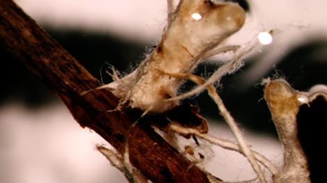 Micorrización inducida de hongos en las raíces de las plantas