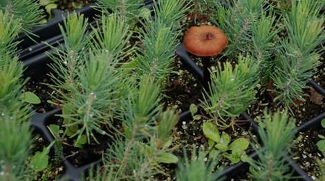 Microrrización de Pinus sp con Lactarius deliciosus (nícalo) y otras variedades