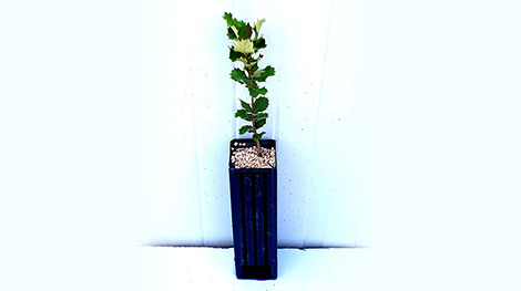 Quercus ilex trufa blanca