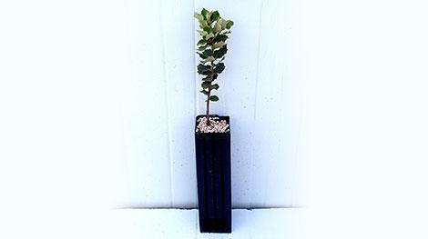 Quercus ilex trufa blanca verano