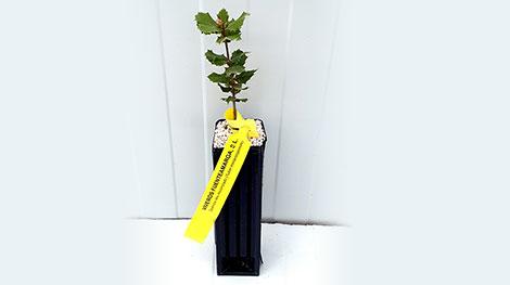 Quercus ilex trufa negra
