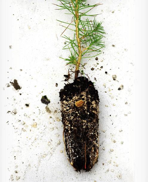 Planta con raíz con tierra